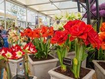 ЛОНДОН, ВЕЛИКОБРИТАНИЯ - 25-ОЕ МАЯ 2017: Выставка цветов 2017 RHS Челси Стоковые Фото