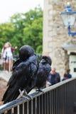 ЛОНДОН - 21-ОЕ АВГУСТА 2017: Ворона в башне Лондона, Англии стоковые фото