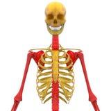 Лопатка с косточкой Humerus, радиуса, Ulna и спинным мозгом Стоковые Изображения RF