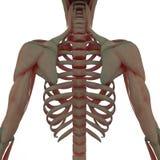Лопатка с нервюрами подпирает взгляд со стороны Стоковые Изображения RF