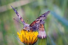 Лопух бабочки на желтом цветке одуванчика стоковое фото