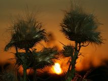 Лопух & заход солнца Стоковая Фотография RF