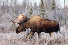 лоси быка Аляски Стоковые Изображения