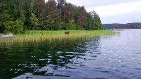 Лоси в воде Стоковые Изображения