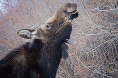 Лоси есть вербы Стоковая Фотография RF