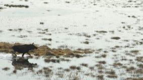 Лоси идя в болото, весна Запас Cepkeliai, Литва сток-видео