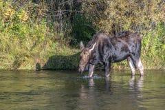 Лоси коровы стоя в Moving реке Стоковые Изображения