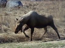 Лоси коровы Striding через траву зимы стоковые изображения