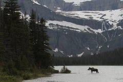 лоси озера скрещивания Стоковая Фотография RF