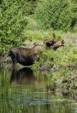 Лоси Bull в пруде Стоковое Изображение
