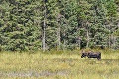 Лоси Bull стоя в профиле в заболоченных местах ` s Algonquin стоковое изображение rf
