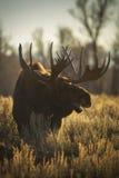 Лоси Bull Стоковое Фото