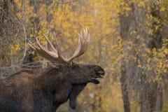 Лоси Bull Shiras прокладывать в падении Стоковая Фотография