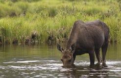 лоси wading Стоковая Фотография