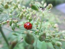 Лоснистый красный Ladybug Стоковое Изображение RF