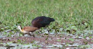 Лоснистый питаться ibis видеоматериал