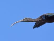 Лоснистый Ibis, взрослое летание стоковые изображения