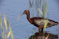 Лоснистый ibis в трясине Стоковое фото RF