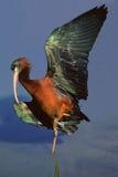 лоснистый ibis стоковая фотография rf