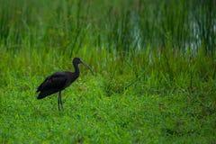 лоснистый ibis Стоковое Изображение RF