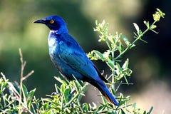 лоснистый starling Стоковое фото RF