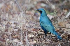 Лоснистый Starling Стоковые Фотографии RF