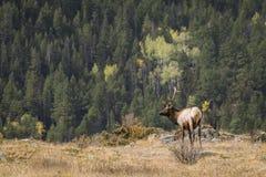 лось быка величественный Стоковое Изображение RF
