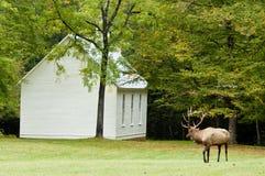 Лось быка с georgous antlers остается бдительным. Стоковые Изображения RF