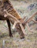 лось быка Стоковое Изображение