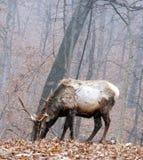 лось быка Стоковые Фото