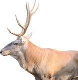 лось быка Стоковое Изображение RF