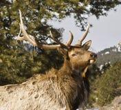 лось быка Стоковое Фото