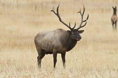 лось быка Стоковые Изображения RF