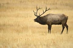 лось быка Стоковое фото RF