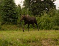 Лось в Аляске стоковые фотографии rf