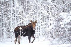 Лось в лесе Стоковые Фото