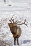 Лось в снеге Стоковые Фотографии RF