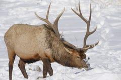 Лось в снеге Стоковые Изображения RF