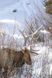 Лось в снеге Стоковые Изображения