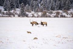 Лось и койот Стоковая Фотография RF