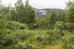 Лось коровы в Норвегии Стоковые Изображения