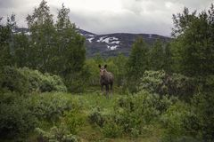 Лось коровы в Норвегии Стоковое Фото