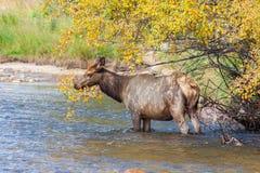 Лось коровы в реке Стоковая Фотография