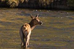 Лось коровы в реке Стоковые Фотографии RF