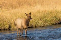 Лось коровы в реке Стоковые Изображения