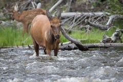 Лось коровы пытаясь пересечь реку Стоковое Изображение