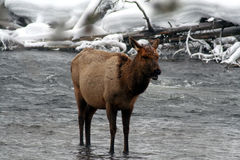Лось коровы стоя в ледистом снежном реке Стоковые Фото