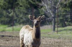Лось, красный цвет замкнул оленей или Wapiti Стоковое Фото