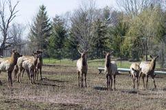 Лось, красный цвет замкнул оленей или Wapiti Стоковые Фотографии RF