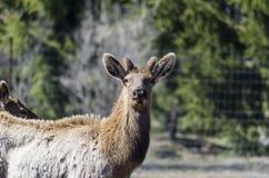 Лось, красный цвет замкнул оленей или Wapiti Стоковые Фото